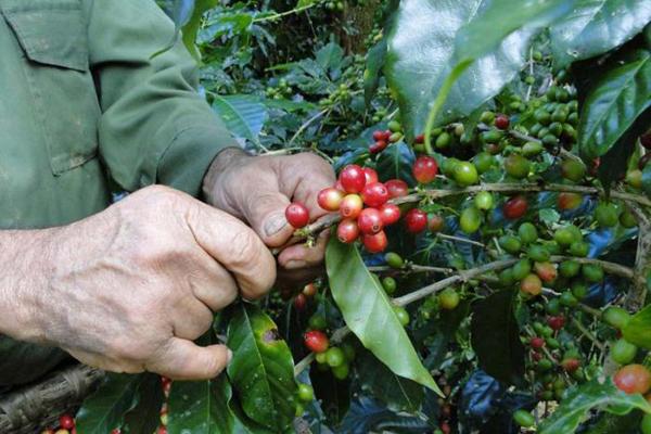 Fondo Internacional de Desarrollo Agrícola apoyará en Cuba desarrollo del sector agroforestal