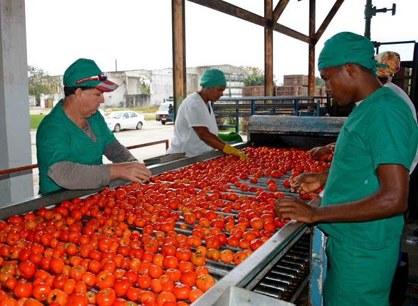 La Empresa agroindustrial de Isla de la Juventud estima procesar más de dos mil toneladas de tomate, récord de producción para este municipio especial. Cuba, 9 de marzo de 2017. ACN FOTO/Roberto DÍAZ MARTORELL