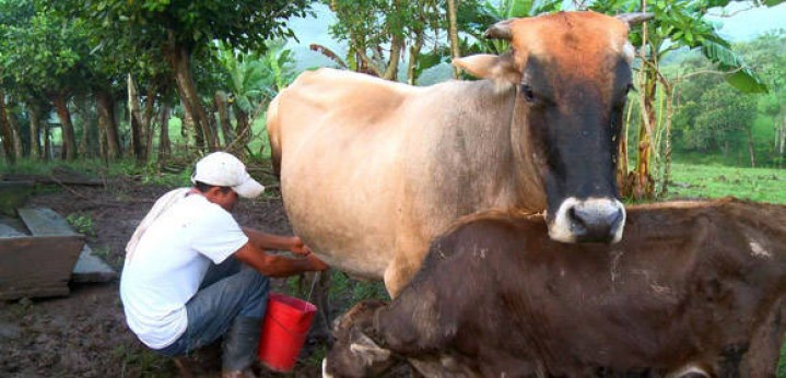 Cuban ranchers will collect 28 million liters of milk more than 2017