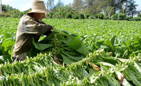Resultado de imagen para cosecha tabacalera, Pinar del Río, acn