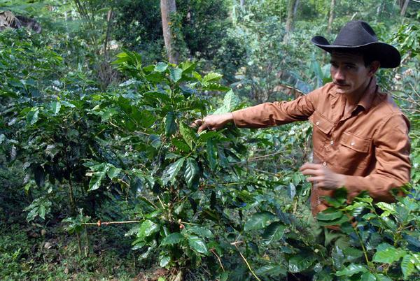 José Alberto Torres, best coffee farmer in Cuba six times in a row