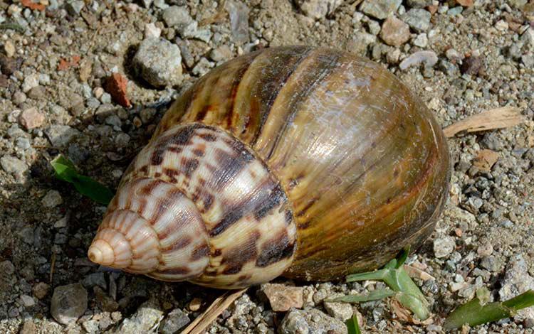 Emiten indicaciones en Cuba para control y eliminación del caracol gigante africano