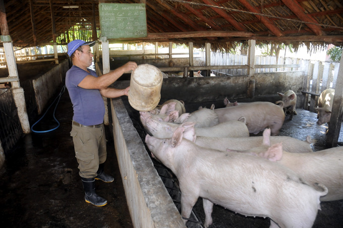 Granma province works to recover state pork production
