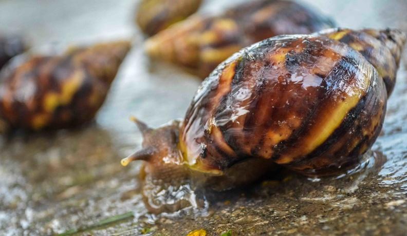 Academia de Ciencias de Cuba propone debates sobre el caracol gigante africano