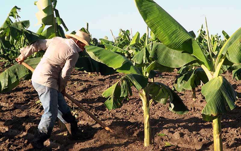 Destinan fondo de mil 800 millones de pesos para fomento agropecuario en Cuba