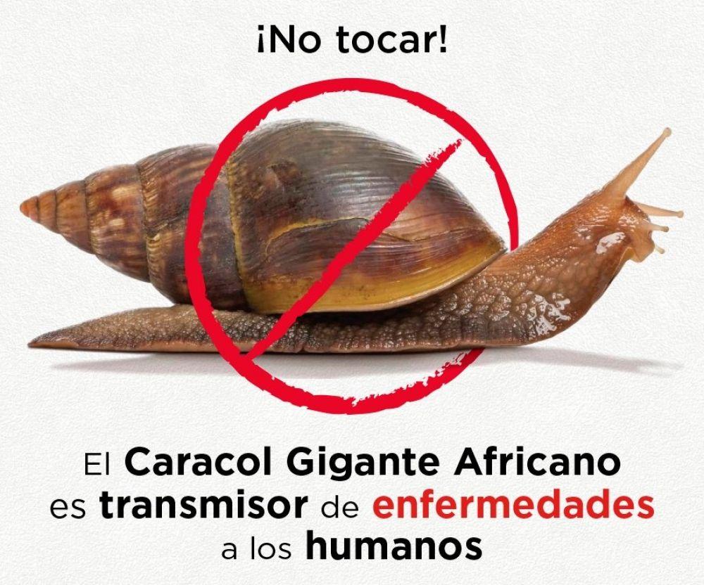 Resultado de imagen para site:www.acn.cu caracol gigante africano