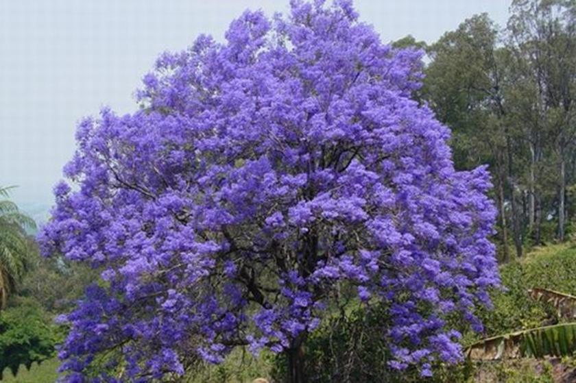 Framboyán Azul florece en la ciudad de Holguín