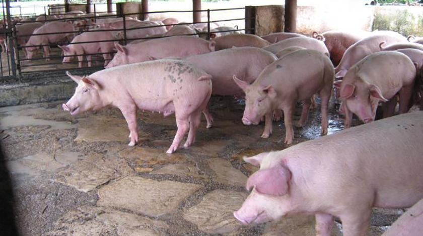 Productor porcino utiliza alimentos alternativos en la serranía