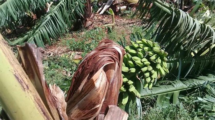 Tormenta tropical Eta deja afectaciones en la agricultura de Ciego de Ávila