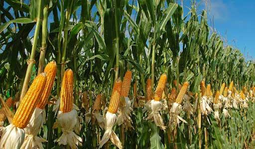 Experimentral transgenic corn harvest shows good output in Santiago de Cuba