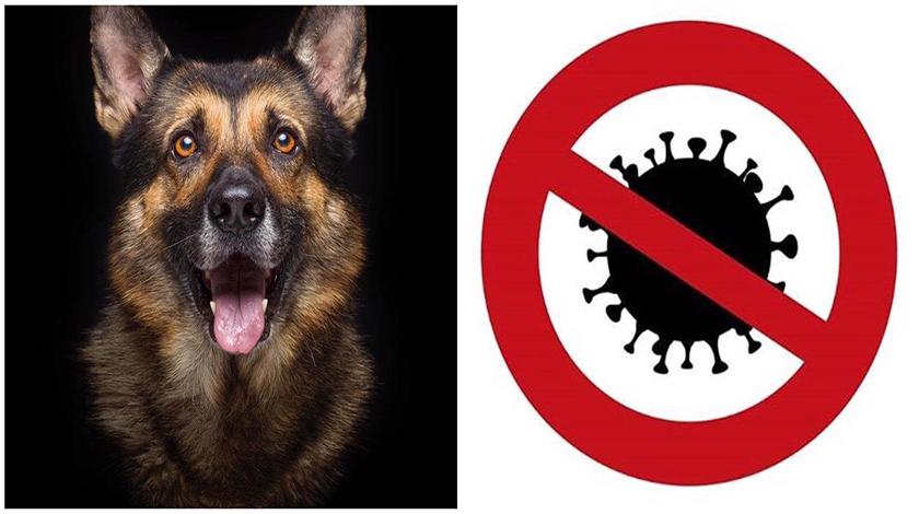 Perros entrenados pueden detectar portadores de Covid-19