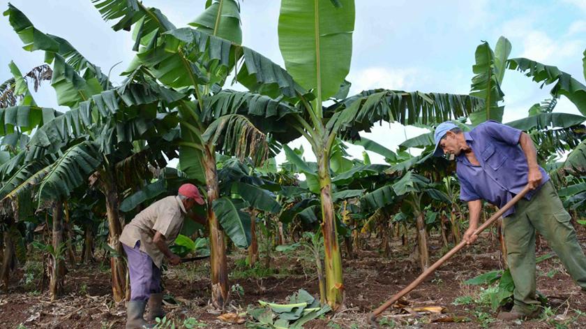 Mayor producción de alimentos: desafío de los campesinos de Cuba (+Foto)