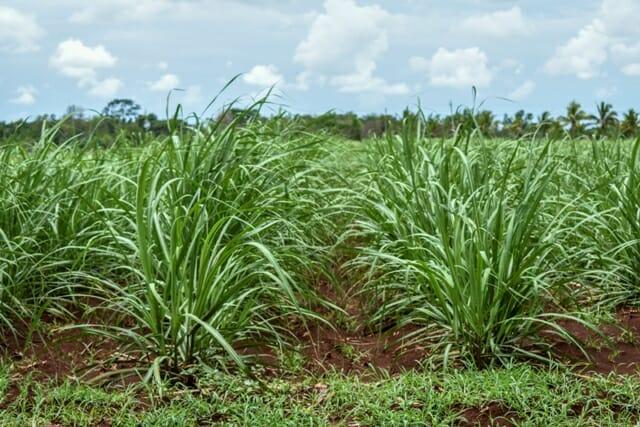 Trabaja estación camagüeyana de investigaciones de la caña en la búsqueda de variedades más productivas